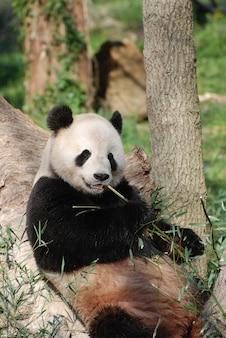Miś panda oparty o drzewo i jedzący pędy bambusa.