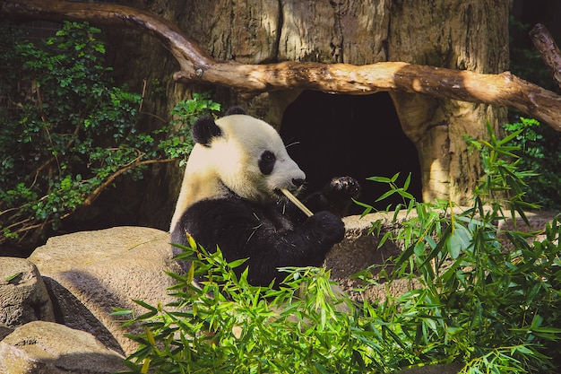 Miś panda siedzi bambusa i je w zoo