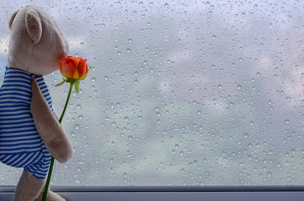 Miś stoi przy oknie, trzymając różę i wyglądając przez okno.