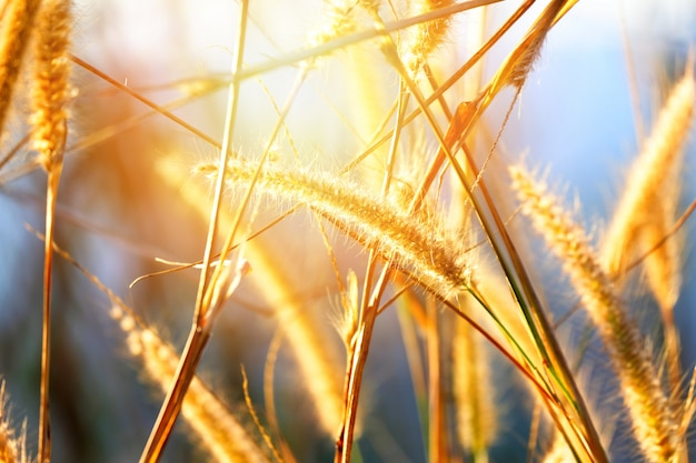 Misi trawy kwiat na łąkowym zmierzchu
