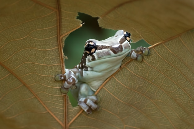 Misja złotooka rzekotka drzewna siedząca na liściu