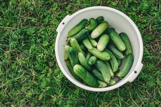 Miska ogórków na trawie. dobre zbiory ogórków
