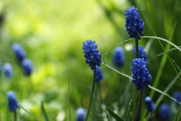 Miskuri kwiaty na tle zielonego trawnika w letni dzień.