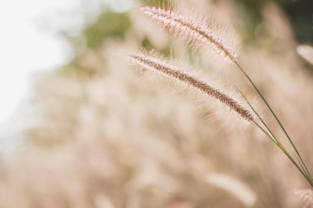 Misyjne pole trawy ze światłem słonecznym w rozmytym obrazie tła odpowiednim do tapet