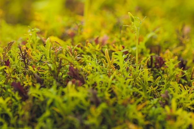 Mizuna microgreen japońska musztarda na niewyraźne tło selektywna ostrość widok z góry