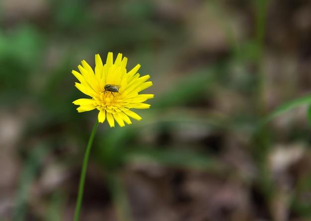 Mlecze, leśne dzikie kwiaty