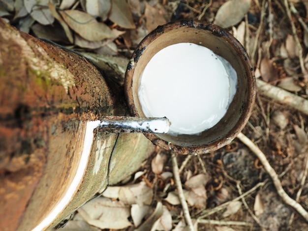 Mleczny lateks pozyskiwany z drzewa kauczuku naturalnego, hevea brasiliensis.