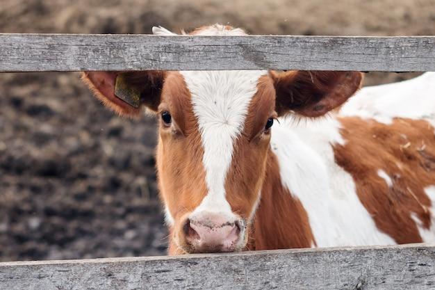 Młoda biała i czerwona łydka na fermie mlecznej