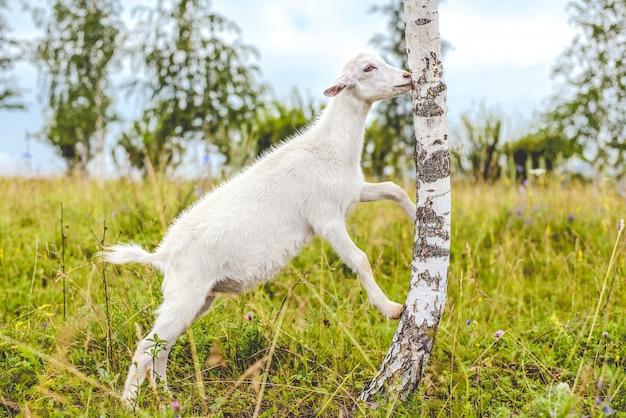 Młoda biała koza zjada kory drzewa