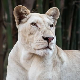 Młoda biała lwica bliska portret w środowisku zoo