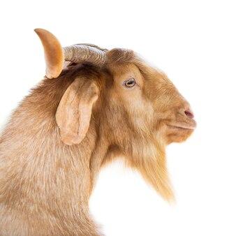 Młoda brązowa koza