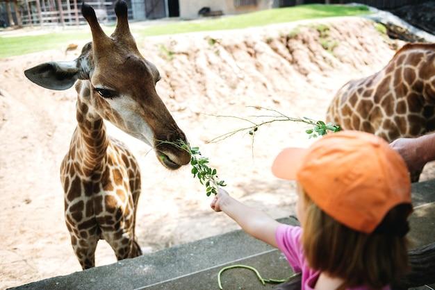 Młoda caucasian dziewczyna karmi żyrafy przy zoo