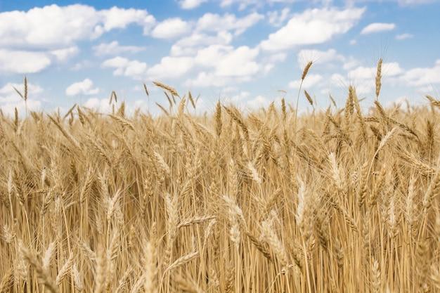Młoda dojrzała pszenica w polu ukraina