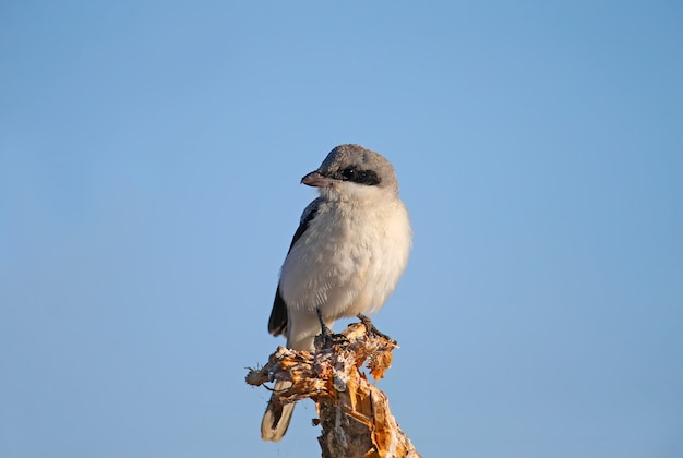 Młoda dzierzba mała (lanius minor) siedzi na suchej gałęzi rośliny na tle błękitnego nieba. zbliżenie szczegółowe zdjęcie ptaka