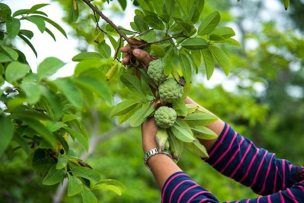 Młoda dziewczyna bada jabłka kremem