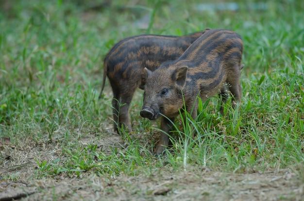 Młoda dzika świnia lub młody dziki deska prosiaczek