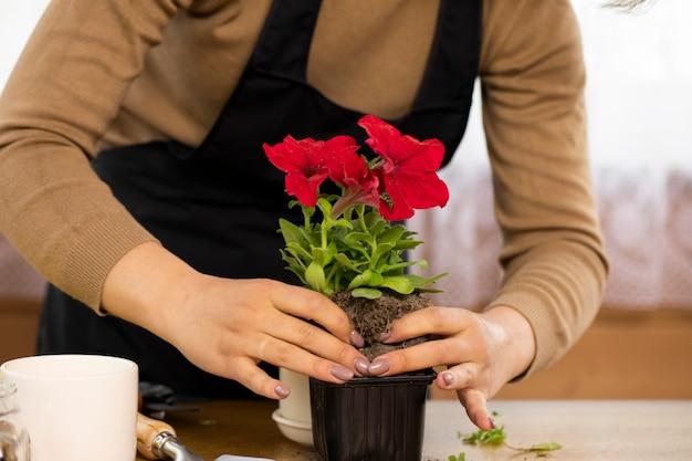 Młoda gospodyni sadzi kwiaty w doniczce. uprawa kwiatów i roślin domowych w domu. zbliżenie dłoni. koncepcja rodzica roślin.