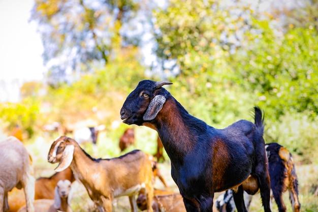 Młoda indyjska kózka przy polem
