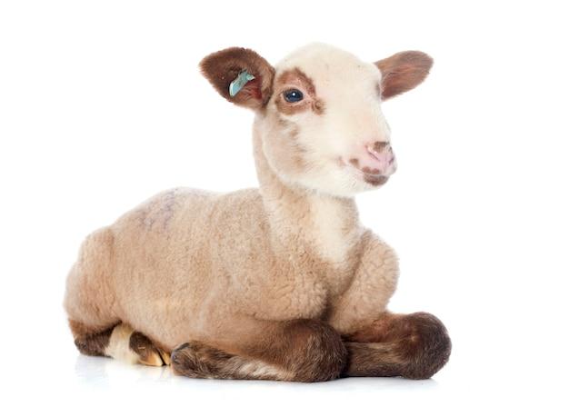 Młoda jagnię