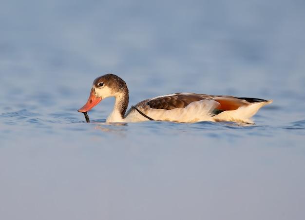 Młoda kaczka zwyczajna unosi się na błękitnej wodzie w delikatnym świetle poranka