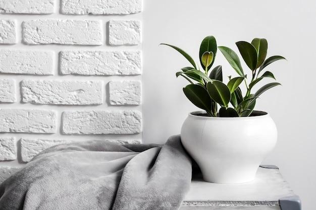 Młoda kauczukowa roślina (ficus elastica) w białej doniczce z szarym miękkim kocem z polaru w pobliżu. biała ściana z cegieł na tle