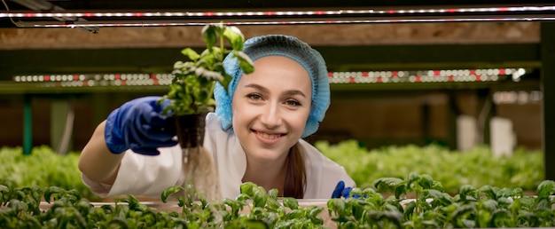 Młoda kaukaska kobieta zbiera zieloną bazylię z jej farmy hydroponicznej.