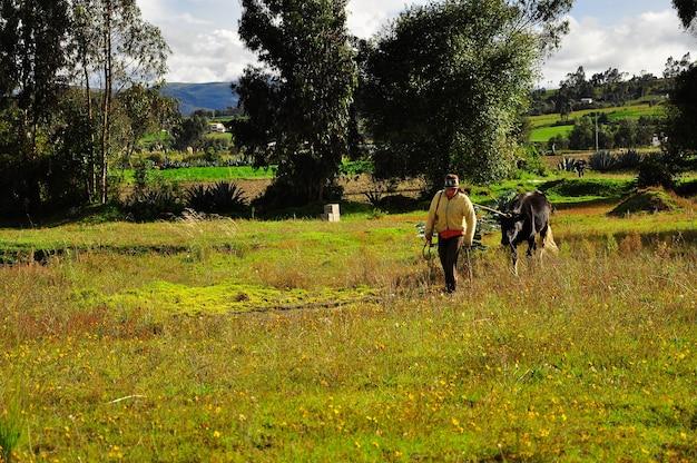 Młoda kobieta idzie na polu z jedną czarną krową.