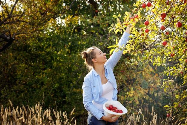 Młoda kobieta podnosi jabłka w sadzie w słoneczne jesienne popołudnie. pojęcie zdrowego stylu życia