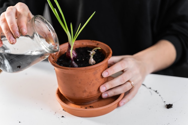 Młoda kobieta tysiącletniego sadzenia ziół cebuli w domu w garnku. hobby ogrodnicze w domu. zero marnowania