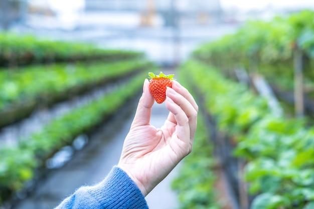 Młoda kobieta w niebieskim swetrze zbiera i trzyma świeże sezonowe truskawki w rękach odizolowanych w ogrodzie, z bliska