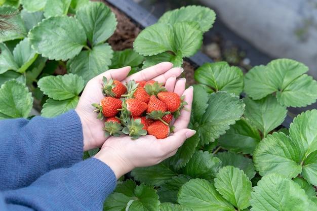 Młoda kobieta w niebieskim swetrze zbiera i trzyma w rękach świeże sezonowe truskawki w ogrodzie, z bliska