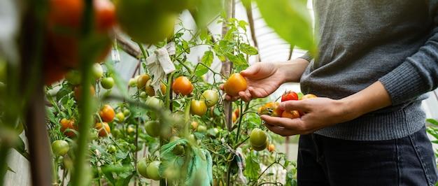 Młoda kobieta w szarym swetrze zbiera pomidory w szklarni. koncepcja zbioru warzyw