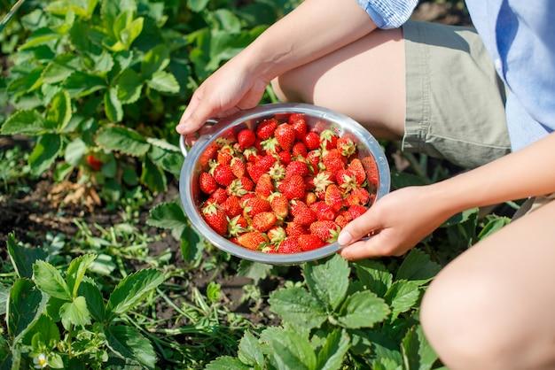 Młoda kobieta zbiera truskawki z ogrodu