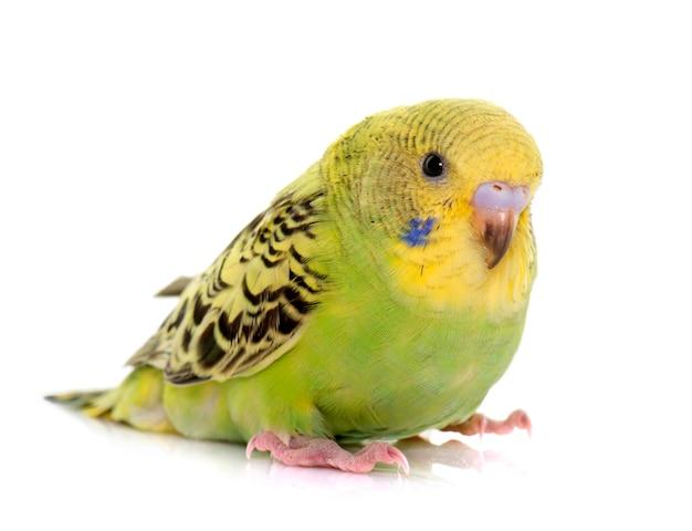 Młoda kolorowa papużka falista