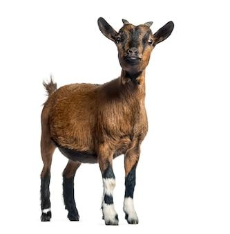 Młoda Koza, 4 Miesiące, Stojąca Przed Białym Premium Zdjęcia