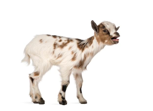 Młoda koza domowa becząca, dziecko, na białym tle