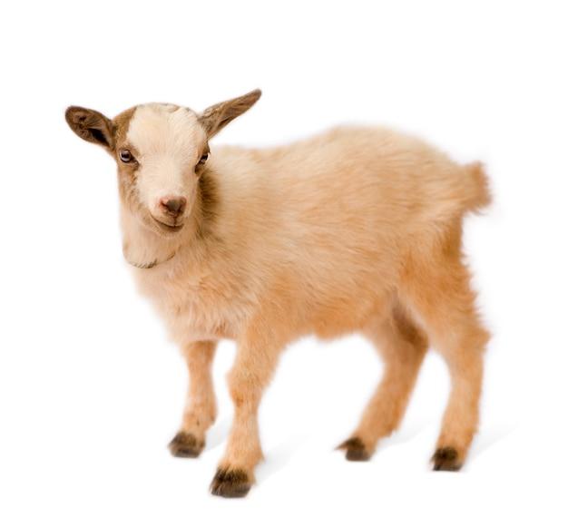 Młoda koza karłowata samodzielnie, te zdjęcia zostały zrobione w beninie, ich czerwone zabarwienie pochodzi z lokalnej gliny jak pył.