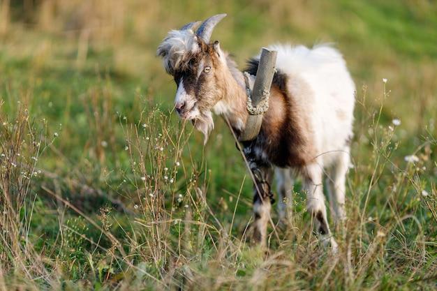 Młoda koza pasie się latem na trawie