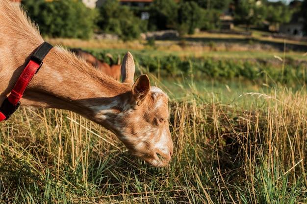 Młoda kózka je trawy na łące