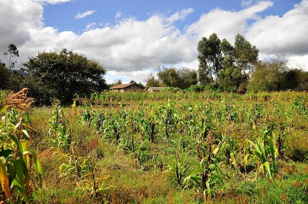 Młoda kukurydza uprawiana na polu z chmurami, błękitne niebo i zielone drzewa.