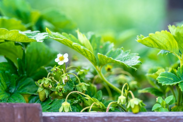 Młoda kwitnąca roślina truskawkowa na polu