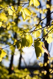 Młoda lipa liści wiosna