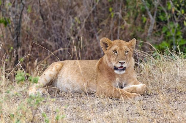 Młoda lwica odpoczywa w gęstym buszu w kenii w afryce