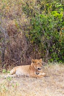 Młoda lwica w gęstym buszu w kenii w afryce