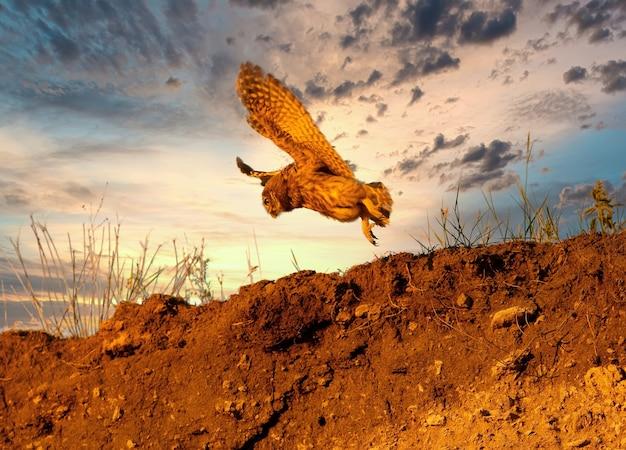 Młoda mała sowa sfilmowana w locie na tle wieczornego nieba o zachodzie słońca