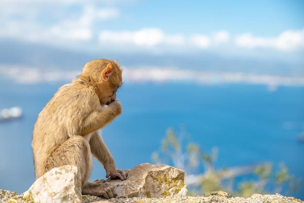 Młoda małpa macaca sylvanus siedzi na skale u wybrzeży. skopiuj miejsce