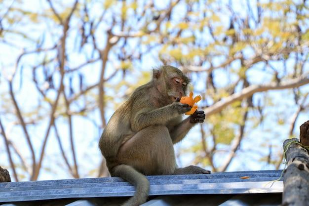 Młoda małpa siedzi na dachu i czyści mandarynkę