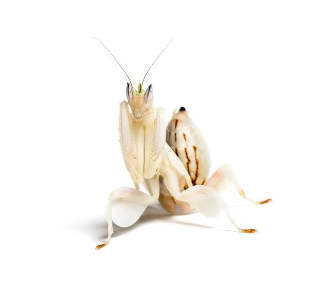 Młoda modliszka storczykowa, hymenopus coronatus, przed białym