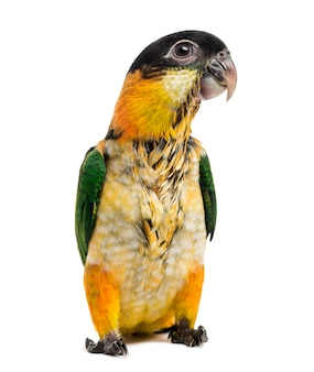 Młoda papuga czarnogłowa (10 tygodni) na białym tle