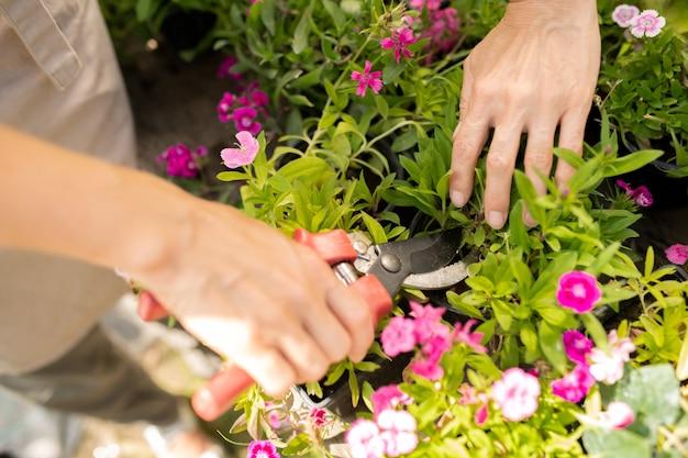 Młoda rolniczka za pomocą nożyc do przycinania do pielęgnacji różowego goździka ogrodowego rosnącego na kwietniku